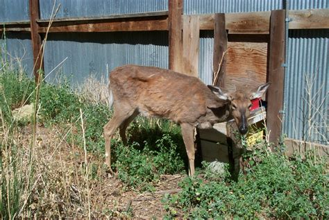 u weight loss deer sharp shooters in michigan hunt for deer with chronic