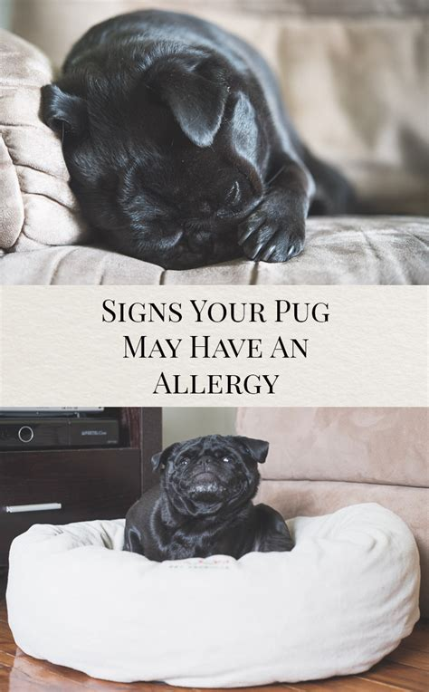 pugs allergies signs your pug may an allergy the pug diary