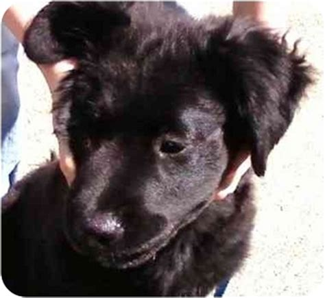 setter puppies ohio puppies adopted puppy dayton oh labrador retriever setter mix