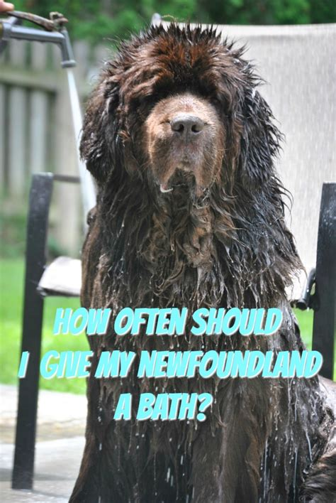 how often to give a a bath how often should i give my newf a bath mybrownnewfies