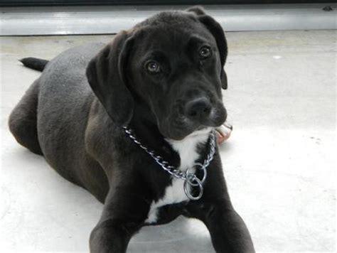 lab mastiff mix puppies pics for gt mastiff boxer lab mix