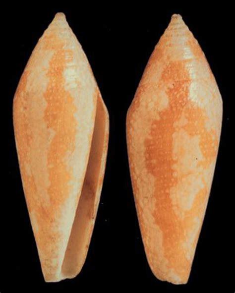 lacking pattern synonym conus pacificus holotype jpg