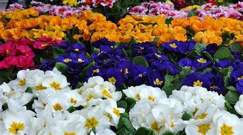 la primula fiori la primula fiori come coltivare la primula