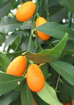 kumquat tree not bearing fruit gardening kumquats are the gold gem of the citrus family