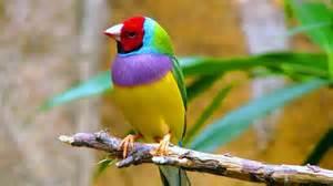 lovebird colors rainbowbird nature lovebird colors animals
