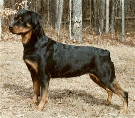 are rottweilers born with tails dorothy wade rottweiler breeder with an eye on the breed