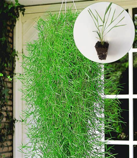 Bambus Im Balkonkasten by H 228 Ngender Bambus Green Twist 174 Top Qualit 228 T Kaufen