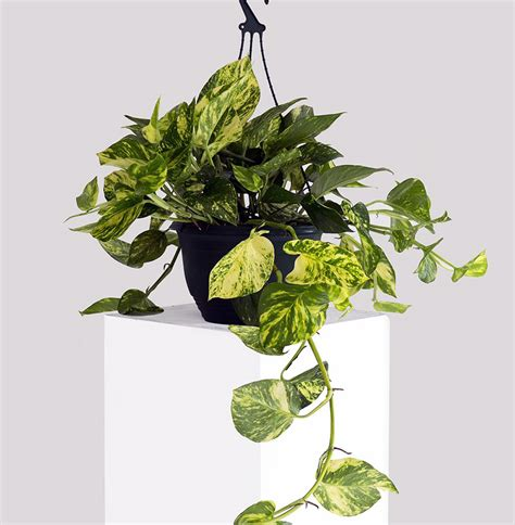 Indoor House Plants Sale 7 indoor plants that are dangerous to children amp pets