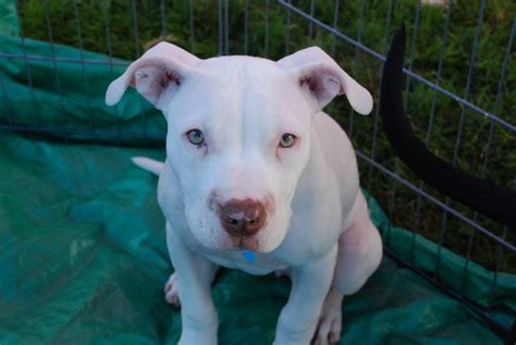 blue american bulldog puppies blue american bulldog puppies www imgkid the image kid has it