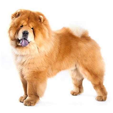 chow breed chow chow breed 187 information pictures more