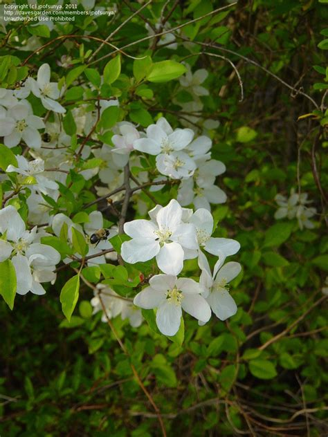 shrub with white flowers identification plant identification white flowering tree 1 by jpofsunya
