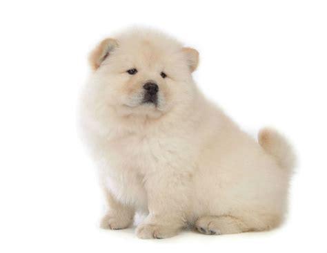 chow chow loghan amamos cachorros