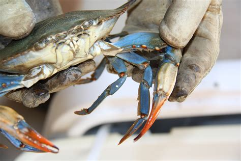 the colors of nature blue crabs nola at