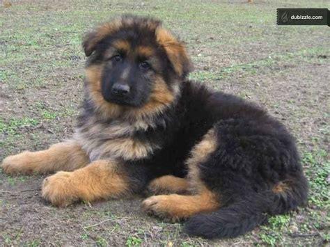 haired german shepherd puppies ohio puppies in ohio pets world
