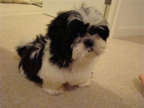how to if your shih tzu is purebred for sale purebred shih tzu black white puppy