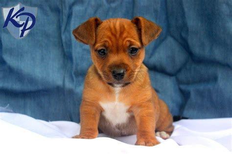 corgi yorkie mix puppies for sale yorkie