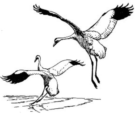 Free picture: whooping, cranes, birds, illustration W 9 Updated 2016