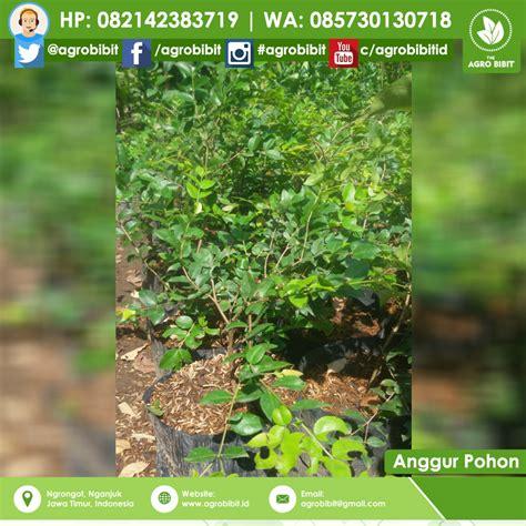 Bibit Pohon Anggur Brazil jaboticaba anggur pohon 50k agro bibit id