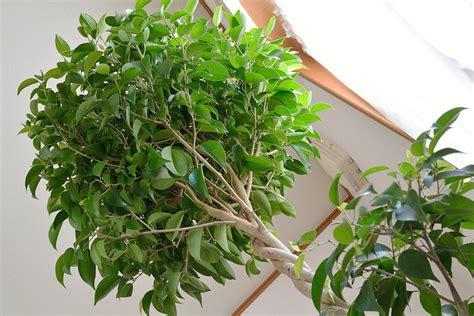 plantes quils purifient lair de la maison sgaravattieu