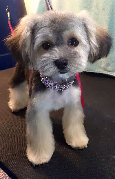 morkie haircut styles pinterest the world s catalog of ideas