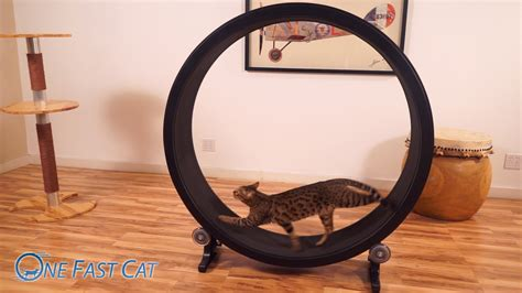 exercise wheel cat exercise wheel by one fast cat