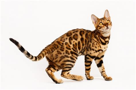 What Does It When Your Cat Sheds A Lot is it true bengal cats shed less than other cats pets4homes