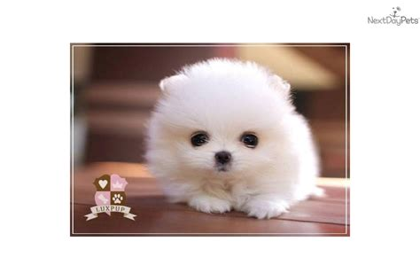 teacup pomeranian for sale vancouver pomeranian puppy for sale near vancouver columbia 0bdc5c42 7e01