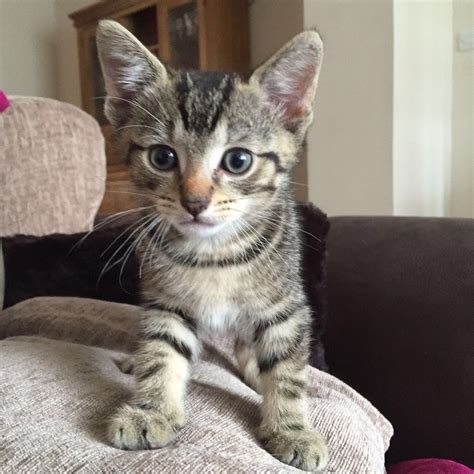 cats for sale 5 tabby kittens for sale in benfleet essex gumtree