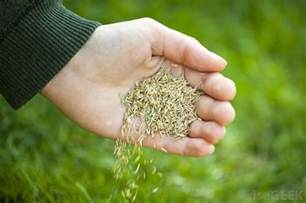 what is green grass seed with picture
