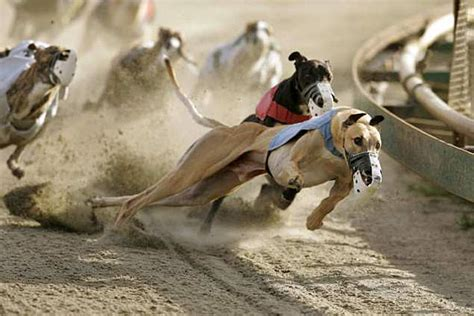 puppy race as more greyhound racing tracks adoptive homes are needed for retiring dogs l