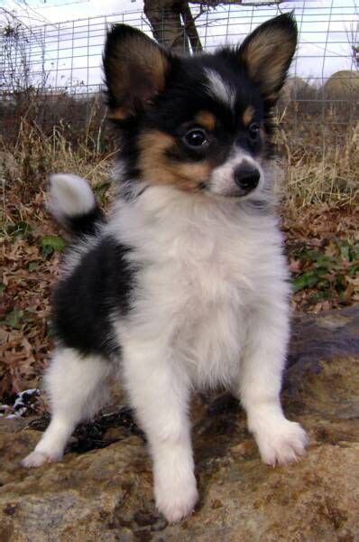 Petit Papillon Baby Sale by Best 25 Dogs For Sale Ideas On Dogs