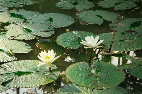 lotus pond pictures lotus pond picture of parasol blanc luang prabang