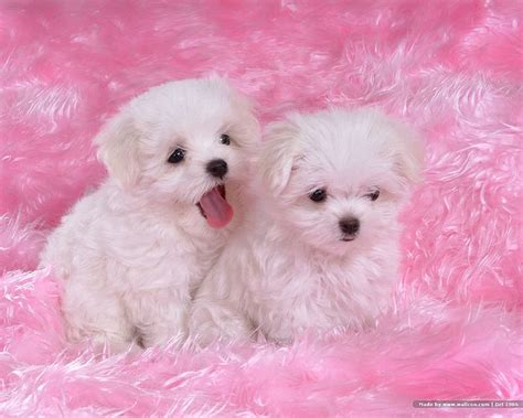 white maltese puppy maltese puppies photograph cuddly white maltese puppies vo