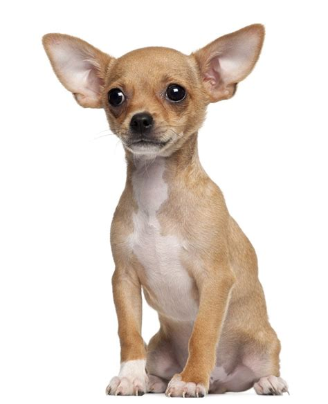dogs with big 60 most adorable chihuahua dogs and puppies segerios segerios