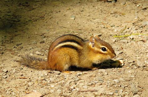 A Chipmunk - chipmunks animals wiki pictures stories