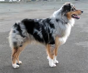 le berger australia chiens des chs