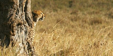 south african cheetah simple english wikipedia the free south african cheetah simple english wikipedia the free