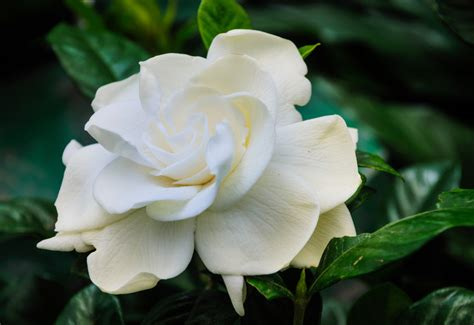 gardenia flowers gardenia care gardenia plants flower meaning petal talk