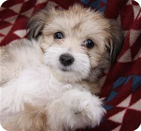havanese terrier lottie adopted puppy newport ca havanese terrier unknown type small mix