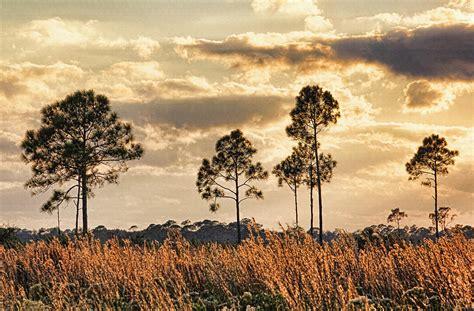 Landscape Photography In Florida Florida Pine Landscape By H H Photography Of Florida
