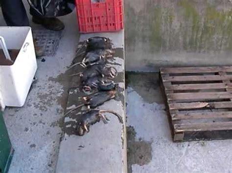 come eliminare i ratti dal giardino straordinaria cattura di un ratto con trappola t rex doovi