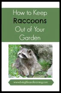 how to keep raccoons out of your garden