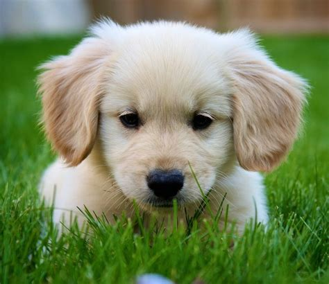 golden retriever puppy and baby best 25 baby golden retrievers ideas on retriever puppies adorable
