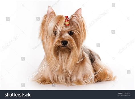 a white yorkie terrier yorkie puppy on a white background stock photo 8471167