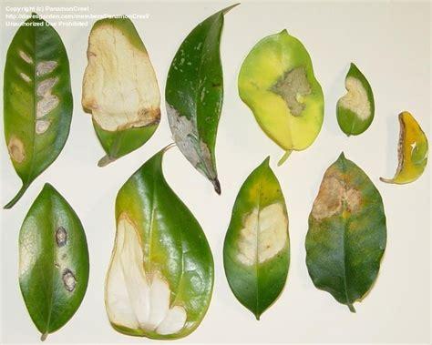 hoya plant diseases tropicals tender perennials diseases pests of
