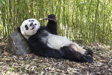 www panda cool retreats are needed to save panda from warmer