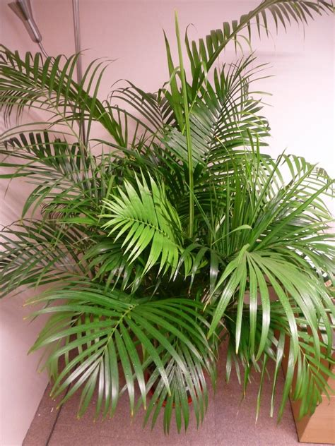 live indoor plants indoor plants 1 6m 5ft real areca palm chrysalidocarpus