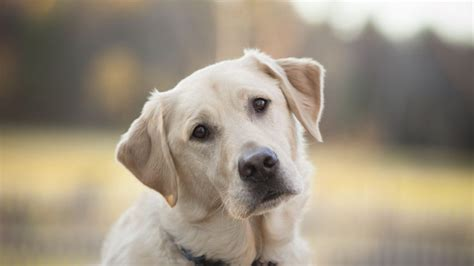 golden retriever varieties retriever labrador breed information all about dogs