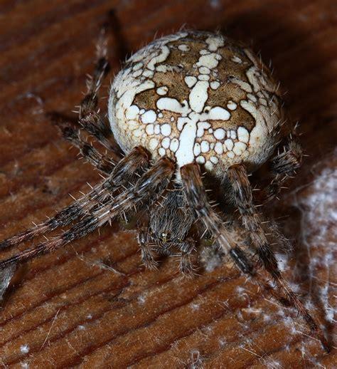 Garden Spider New York Araneus Diadematus