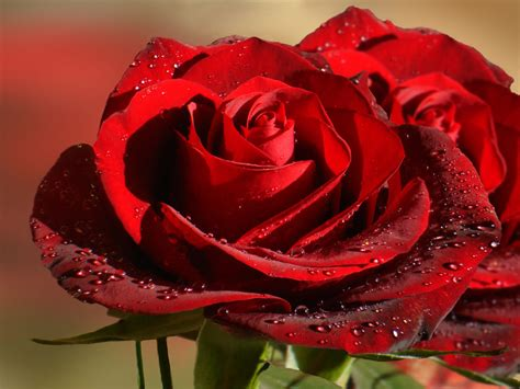 Wallpaper Flower Wala | 90 wedding red rose flower wallpapers love roses pictures